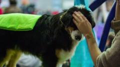 Hair drying friendly dog fur Stock Footage