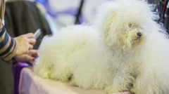 Combing hair on Bichon havanais puppy Stock Footage