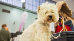 West highland white terrier dog portrait shot Stock Footage