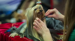 Combing hair of Ihasa apso puppy Stock Footage