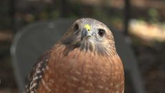 Red Shouldered Hawk Close Up Stock Footage