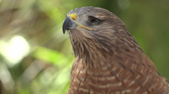 Red Shouldered Hawk In Crowd Face And Head Up Stock Footage