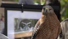 Red Shouldered Hawk In Crowd Of People At Festival Stock Footage