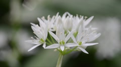 Ramsons  Bear's garlic, Allium ursinum,  Allium ucrainicum, Alliaceae, plants Stock Footage
