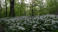 Ramsons, Bear's garlic, Allium ursinum,  Stock Footage