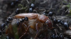 black ants carry coleoptera in the anthill - stock footage