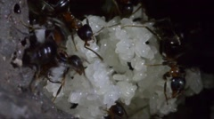 Ants are carring eggs in the underground in artificial anthill Stock Footage