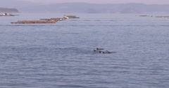 Bottlenose Dolphins Breach Sea Surface In Bay - stock footage