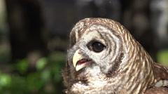 Screech Owl In Forest Close Up On Face Stock Footage