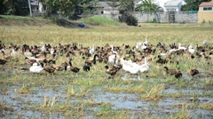 Duck Chase Field Mob in Pathumthani Thailand - stock footage