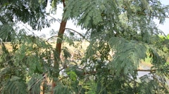 Wind with Leucaena leucocephala plant or White Popinac Tree - stock footage