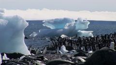 Adelie Penguins in Hope Bay, Antarctica Stock Footage