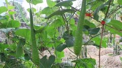 The gourd on the tree Stock Footage
