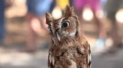 Tiny Screech Owl In Crowd At Festival 02 - stock footage