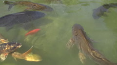 Fish in a Coy Pond Stock Footage