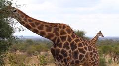 2 angles - Giraffe eating and closeup Stock Footage