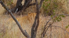 2 angles - female lion with grass blowing - stock footage