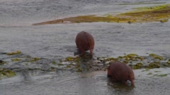 2 angles - 2 hippos underwater and group on olifant Stock Footage