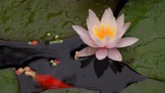 Goldfish feeding close-up next to a pink water lily flower Stock Footage