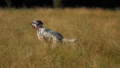 Young English Setter is playing with a ball on a field in summer Stock Footage