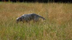 Young English Setter dog is looking for sg on a field in summer Stock Footage