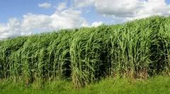 Switch grass, field in Germany Stock Footage