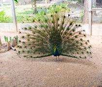 Beautiful indian peacock Stock Photos