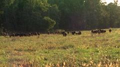 Buffalo hurd in a field - stock footage