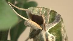 Oleander hawk   moth Stock Footage
