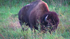 Lone Buffalo eating grass in a field. Stock Footage