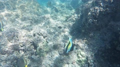 Moorish idol hanauma bay Stock Footage