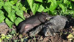 Baby Pot Belly Pig and Kitten Play on Organic Farm 4K Stock Video Footage - stock footage