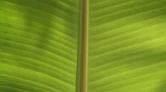 Banana Leaf Stock Footage