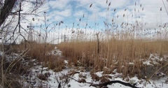 dry marsh cattails swaying in the wind in winter, snow - stock footage