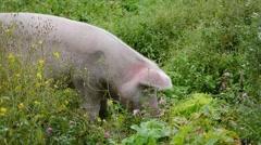 Pig eats grass Stock Footage