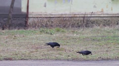 Three crows on the ground Stock Footage