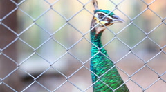 Peacock in cage Stock Footage