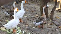 Goose Stock Footage
