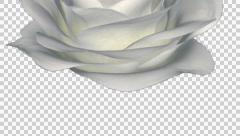 Rose Bloom - White - Down Transition - Alpha Channel - 30 fps Stock Footage