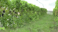 Vineyard plantation of red grapes in Northland New Zealand NZL 01 Stock Footage