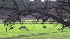 Deer Family Grazing in the Farmland Slow-Mo Stock Footage