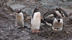 Gentoo Penguins Nesting in Paradise Harbour, Antarctica Stock Footage