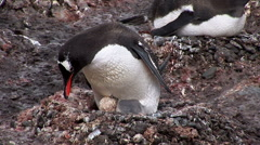 Gentoo Penguin Nesting in Paradise Harbour, Antarctica Stock Footage