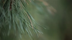 Green pine tree, dynamic change of focus, close up Stock Footage