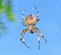 Spider Araneus diadematus - stock photo