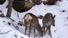 Deer roe foraging for food in the snowy woods, 4k, real time, ultra hd Stock Footage