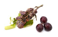Mouldy, rotting plums in contrast with fresh, ripe fruit Stock Photos