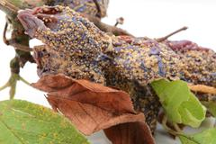 Mouldy, withered plum fruits and dead leaves Stock Photos