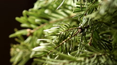 Coniferous Tree Stock Footage