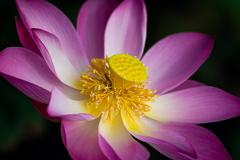 Lotus flower in bloom. Nelumbo nucifera is botanical name for lotus plant - stock photo